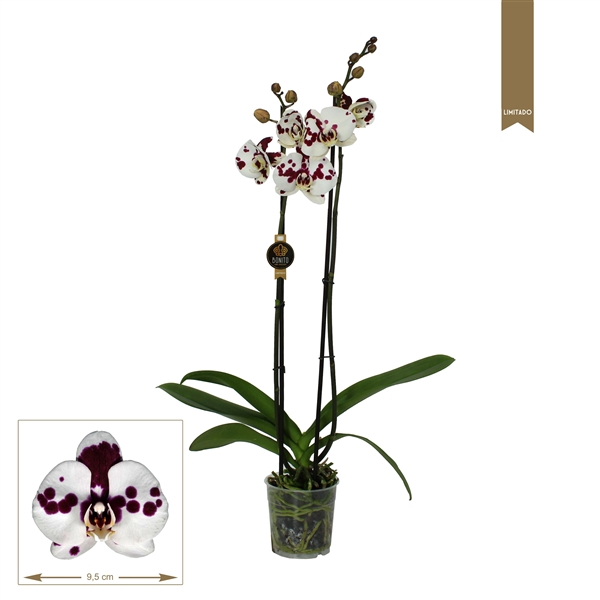 <h4>Phalaenopsis Benidorm</h4>
