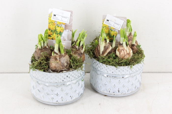 <h4>arr.. Narcis ST3925 - Bloom</h4>