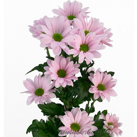 <h4>Chrysanthemum spray Adele rosa</h4>