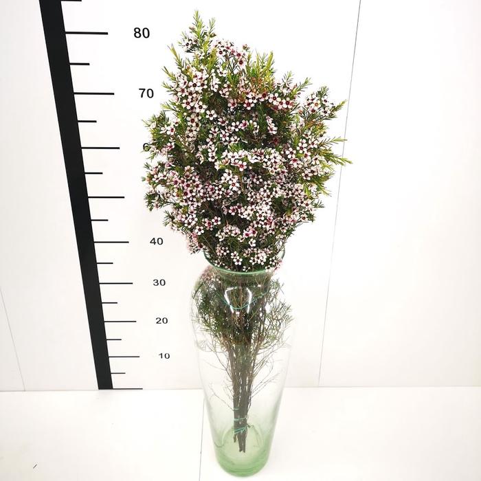 Flor de cera blanca abierta (Snowflake)