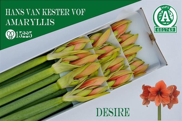 <h4>Amaryllis Desire</h4>