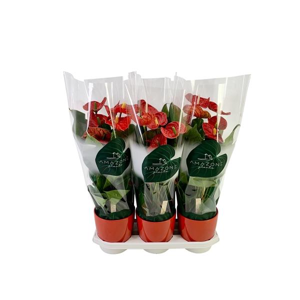 <h4>Anthurium rood keramiek 17cm</h4>