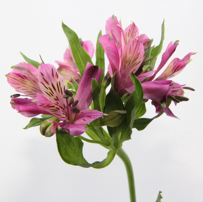 <h4>Alstroemeria Napoli</h4>