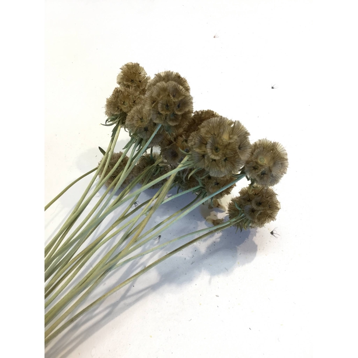 <h4>DRIED FLOWERS - SCABIOSA NATURAL 20PCS</h4>