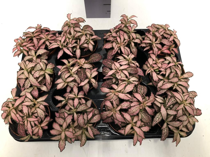 <h4>Fittonia Pink Forest Flame 8,5Ø 10cm</h4>