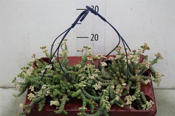 <h4>Crassula Hottentot Hang</h4>