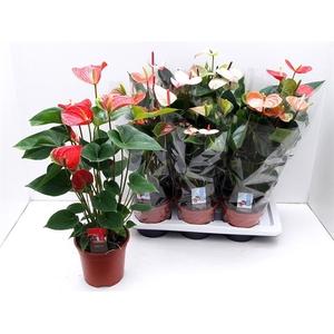 Anthurium mix 6 colors 17Ø 65cm 6Flow