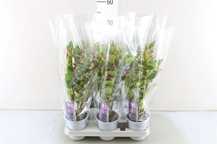 <h4>Dendrobium Nobile Cu 2 Tak</h4>