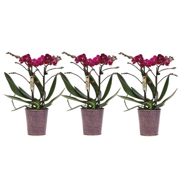 <h4>Phalaenopsis mf. purple</h4>