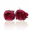 Garden Rose Piano red 3,5-4cm