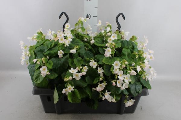<h4>Begonia lorraine   ...</h4>