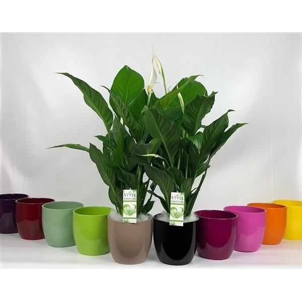 <h4>Spathiphyllum +Cp Basel gekleurd</h4>