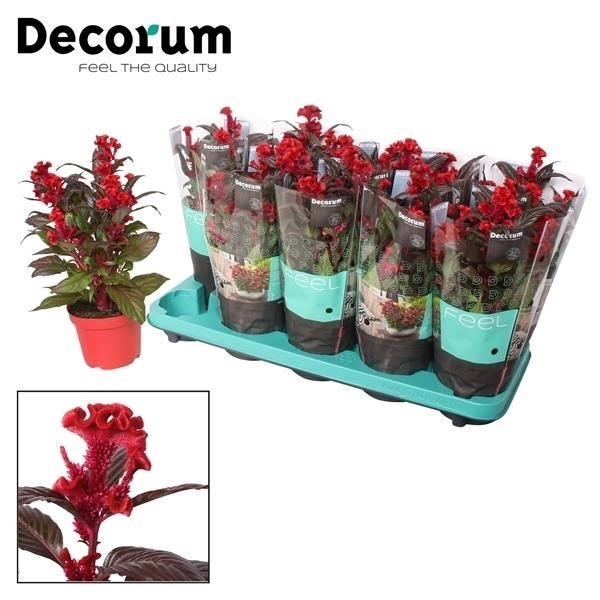 <h4>Celosia Hot Topic Red + hoes</h4>