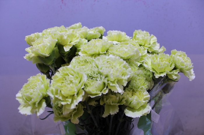 <h4>Dianthus Green Marty</h4>