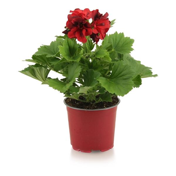 <h4>Pelargonium gr. Franny</h4>