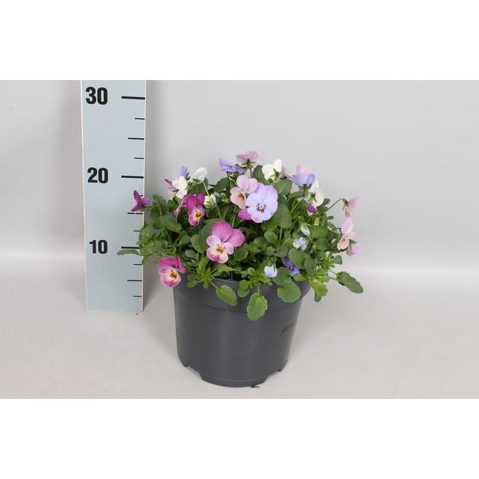 <h4>Viola cornuta 19 cm mix Blue, Pink, White</h4>