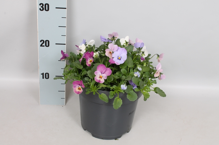 Viola cornuta 19 cm mix Blue, Pink, White