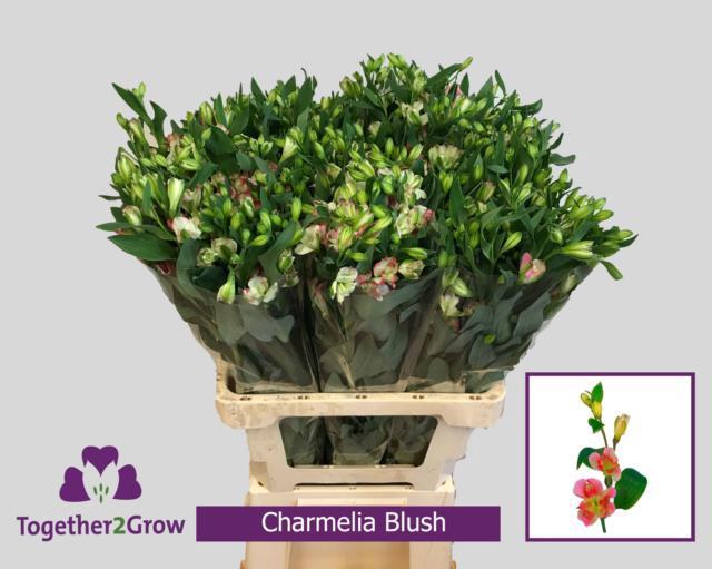 <h4>Alstr Flor Charmelia Blush</h4>