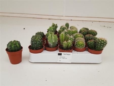 <h4>Cactus Mix P5.5</h4>