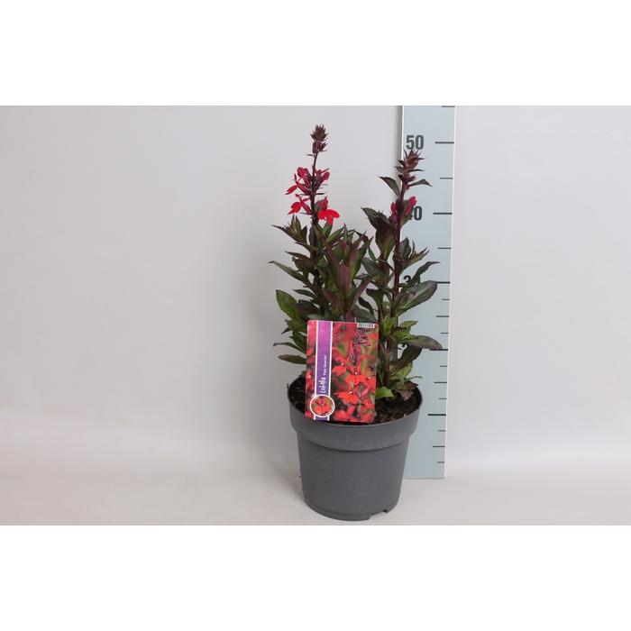 <h4>vaste planten 19 cm  Lobelia speciosa F1 Fan Scarlet Bronze leaved</h4>