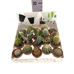 Cactus mix showbox 5,5Ø 5cm