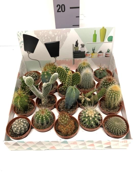 <h4>Cactus mix showbox 5,5Ø 5cm</h4>