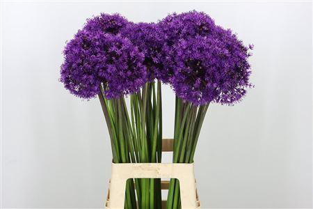 <h4>Allium Afl Purper Sensation</h4>