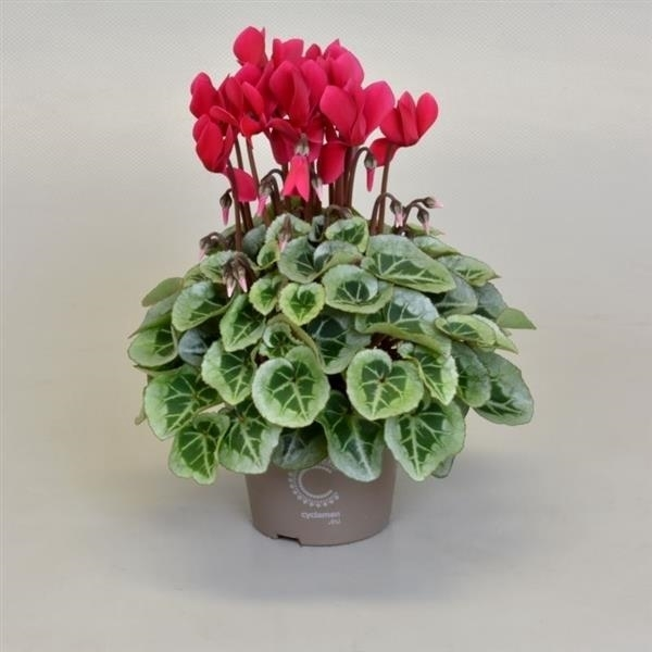 <h4>Cyclamen SS Picasso WijnRood</h4>