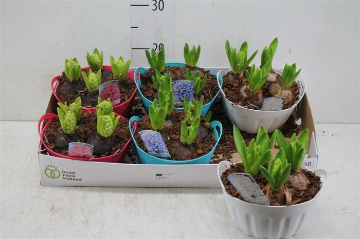 <h4>Arr Hyacinth In Plastic Schaaltje Color 4pp</h4>
