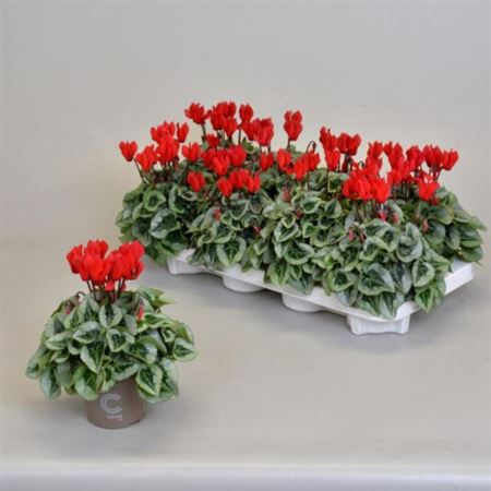 <h4>Cyclamen Kl S S Picasso Rood</h4>