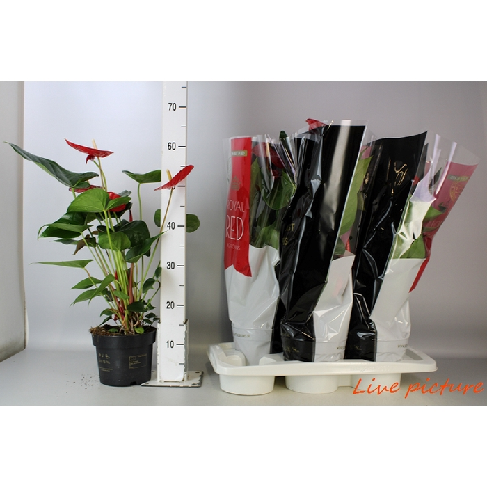 <h4>Anthurium Andr. Oklahoma Royal</h4>