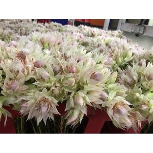 Blushing Bride 6-10 blooms WHITE