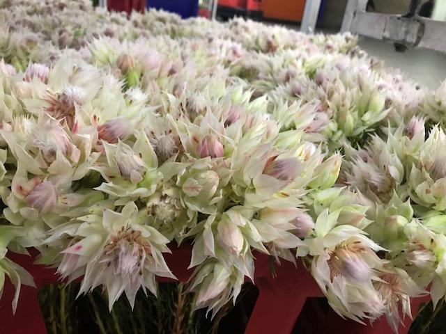 Blushing Bride 6-10 blooms ROSA