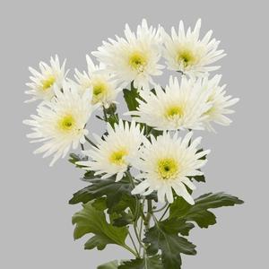 Chrysanthemum spray spider blanca