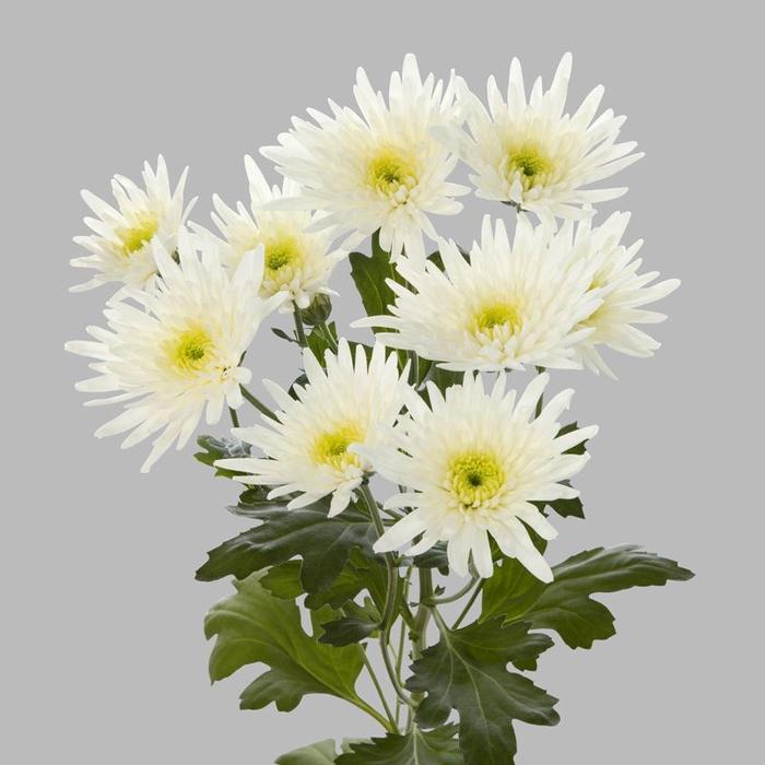 <h4>Chrysanthemum spray spider blanca</h4>