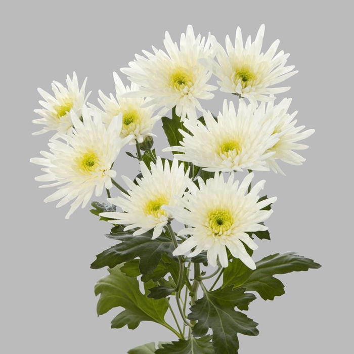 <h4>Chrysanthemum spray spider blanca</h4>