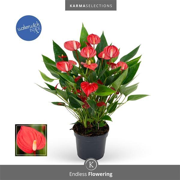 <h4>Anthurium Million Flowers Red</h4>
