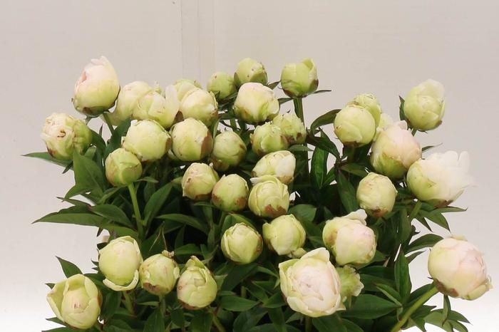 <h4>Paeonia L Puffed Cotton***</h4>
