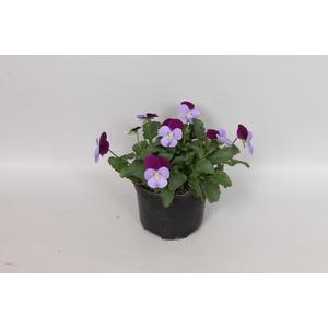 viola cornuta F1 Lilac with purple wing