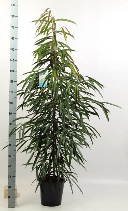 <h4>Ficus binn. 'Alii'</h4>