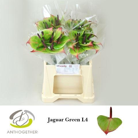 <h4>Anthurium andr. 'Jaguar Green'</h4>