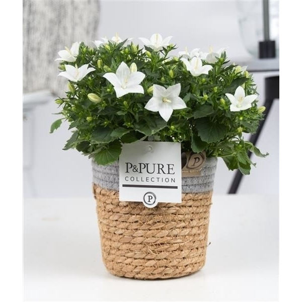 <h4>Campanula 'Atlanta' Decorum S. Basket</h4>