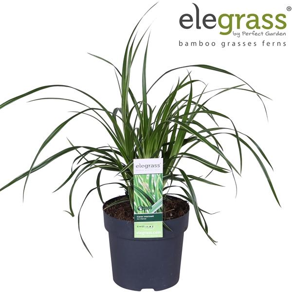 <h4>Carex morrowii ice dance - Elegrass</h4>
