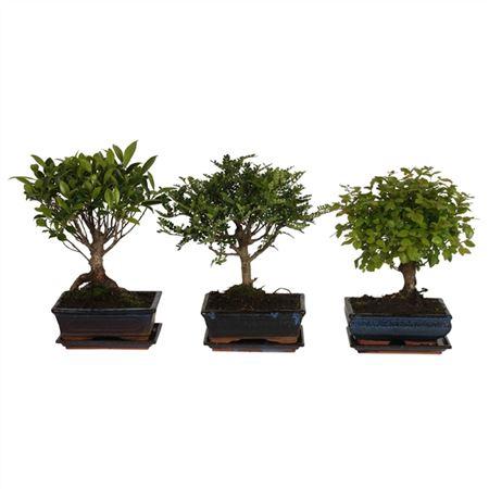 <h4>Bonsai A1201001 Gemengd Keramiek</h4>