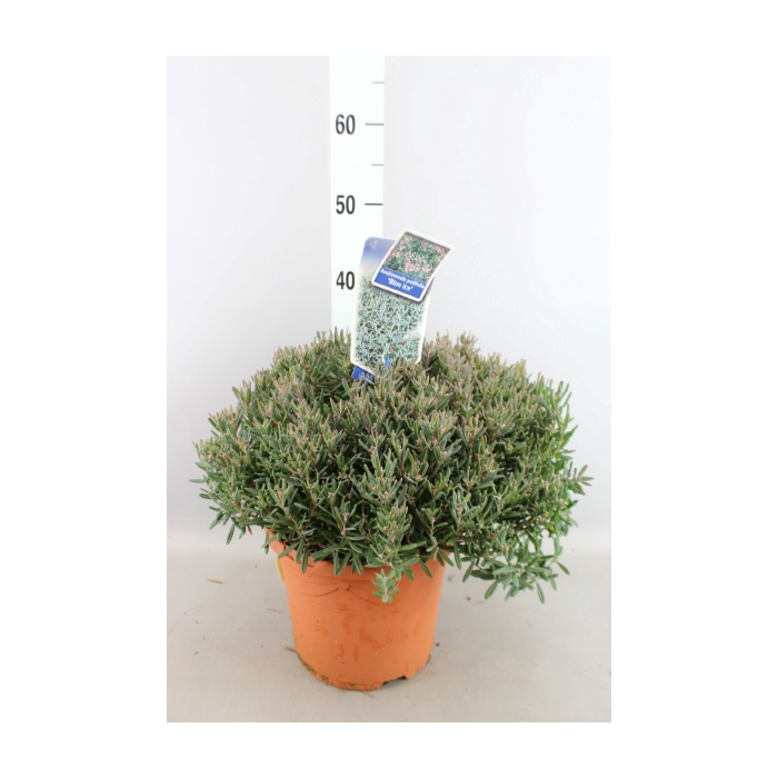<h4>Andromeda polifolia 'Blue Ice'</h4>