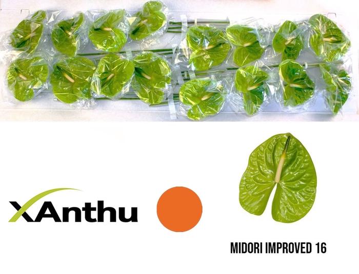 <h4>ANTH A MIDORI IMP</h4>