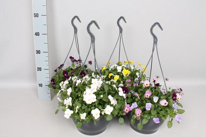 <h4>Hangpot 23 cm viola Cornuta Diverse kleuren</h4>