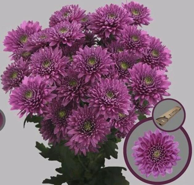 <h4>Chrys. tros Romance Purple</h4>