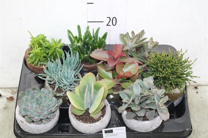 <h4>Succulenten Gemengd Keramiek Mix</h4>