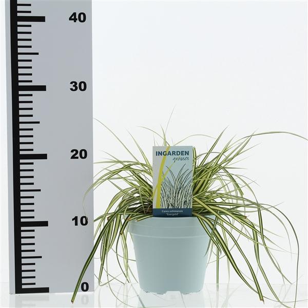 <h4>Carex oshimensis 'evergold'</h4>